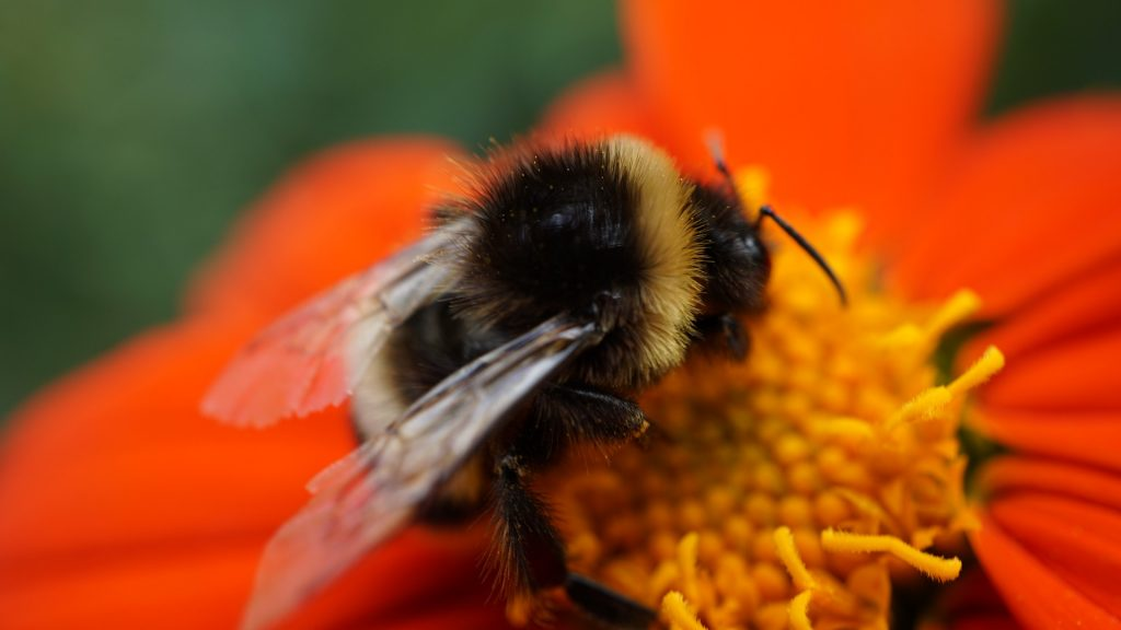 Un bosto intento a nutrirsi di polline, foto tratta da @Pixabay